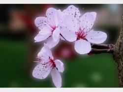 Photo faune et flore, Douvres - Fleurs de Prunus