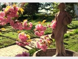 Photo faune et flore, Douvres - Cerisier à fleurs
