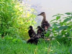 Photo faune et flore, Pont-de-Vaux - Pont de Vaux-01-Habitants de la Reyssouze.