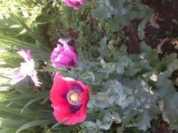 Photo faune et flore, Buire - Pavots e fleurs