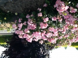 Photo faune et flore, Buire - Rosiers en fleurs