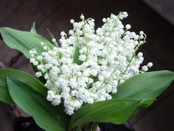 Photo faune et flore, Buire - Bouquet de muguet