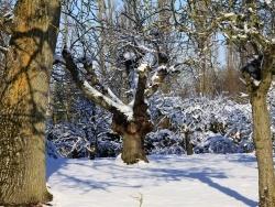 Photo faune et flore, Chézy-en-Orxois - Arbres sous la neige ( rue Melet )