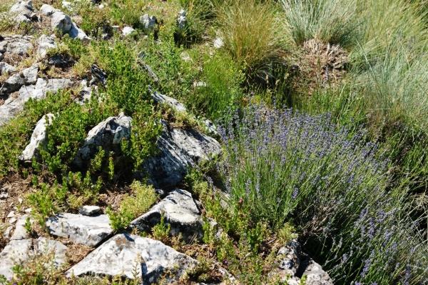 Plante de lavande fine sur la Grande Aiguille, montagne de Mélan