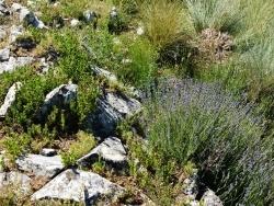 Photo paysage et monuments, Le Castellard-Melan - Plante de lavande fine sur la Grande Aiguille, montagne de Mélan