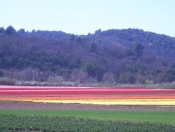 Photo faune et flore, Oraison - les champs de tulipe
