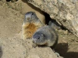 Photo faune et flore, Saint-Crépin - deux mignonnes marmottes