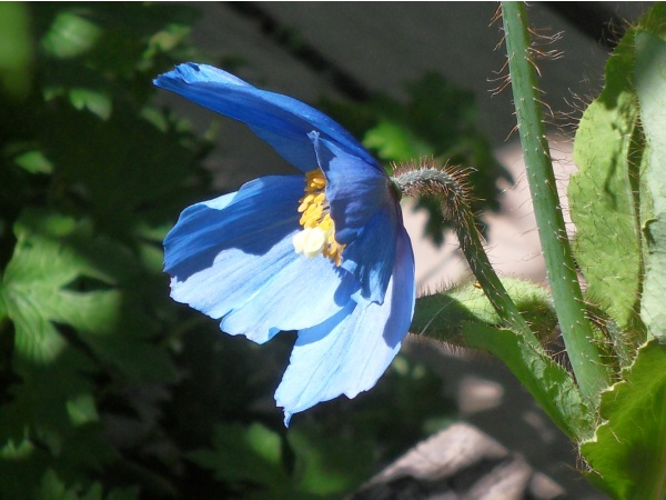 Le pavot bleu de l'Himalaya au jardin botanique du Lautaret