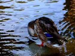 Photo faune et flore, Vogüé - LES CANARDS COLVERT DE VOGÜE