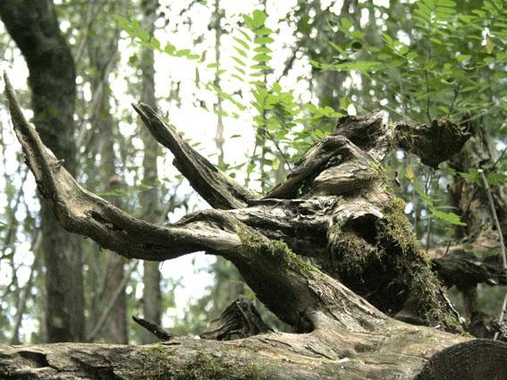 souche dans les bois de st croix