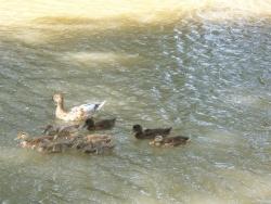 Photo faune et flore, Homps - Famille canard