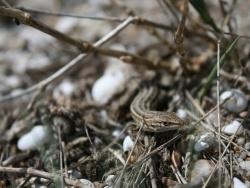 Photo faune et flore, Leucate - Lézarder à la plage