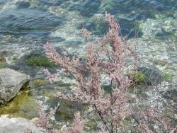 Photo faune et flore, Martigues - Flore au bord de l'étang
