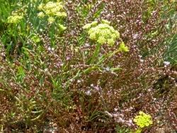 Photo faune et flore, Martigues - flore du bord de l'étang de Berre à Martigues