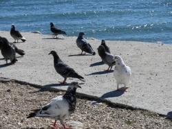 Photo faune et flore, Martigues - Pigeons