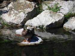 Photo faune et flore, Martigues - Canard au Parc de la Rode Ferrières