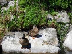 Photo faune et flore, Martigues - Canards 2
