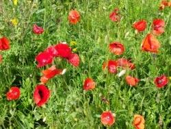 Photo faune et flore, Martigues - Coquelicots