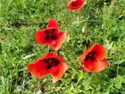 Photo faune et flore, Martigues - Gentils coquelicots mesdames, etc