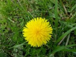 Photo faune et flore, Martigues - pompon jaune