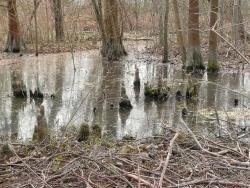Photo faune et flore, Saint-Chamas - Racines pneumatophores des cyprès chauves -cyprès de Louisiane-