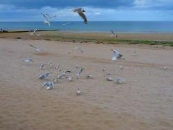 Photo faune et flore, Saint-Aubin-sur-Mer - la danse  des mouettes
