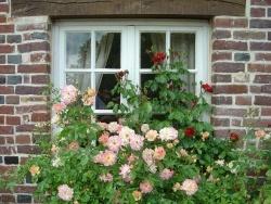 """Photo faune et flore, Sainte-Marguerite-de-Viette - Roses des """" petits Matins Bleus"""" à Ste Marguerite de viette"""