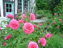 Photo faune et flore, Sainte-Marguerite-de-Viette - Les roses se plaisent à Sainte Marguerite de viette