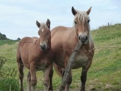 Photo faune et flore, Riom-ès-Montagnes - chevaux au dessus de Riom