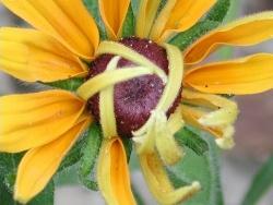 Photo faune et flore, Vieillevie - Fleur finissant de s'épanouir !