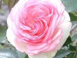 Photo faune et flore, Vieillevie - Belle rose à Vieillevie !