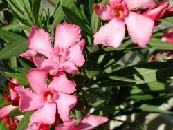 Photo faune et flore, Vieillevie - Laurier rose de Vieillevie.