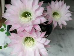 Photo faune et flore, Vieillevie - Fleurs de cactus