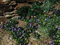 Photo faune et flore, Vieillevie - Premières violettes !