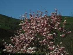 Photo faune et flore, Vieillevie - Magnolia 2011