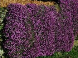 Photo faune et flore, Vieillevie - Beau tapis mauve !