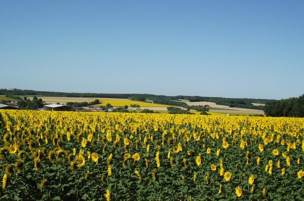 Photo Romazières - Tournesols en fleurs.