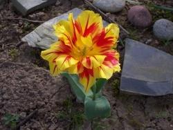 Photo faune et flore, Moustéru - Moustéru - La Tulipe Fan- Fan Fantaisie