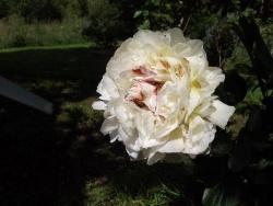 Photo faune et flore, Moustéru - Moustéru - Pivoine