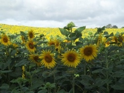 Photo paysage et monuments, Cressat - champs de tournesols