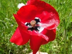 Photo faune et flore, Le Fidelaire - coquelicot au vent