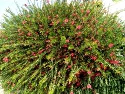 Photo faune et flore, Cervione - Une énorme boule de fleurs rouges