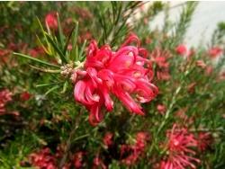 Photo faune et flore, Cervione - Une enorme boule de fleurs rouge - detail