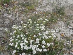 Photo faune et flore, Cervione - Des petites boules de fleurs blanche sur le sable (1)