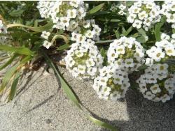 Photo faune et flore, Cervione - Des petites boules de fleurs blanche sur le sable (2)