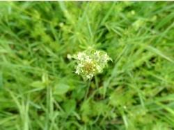 Photo faune et flore, Cervione - Fleurs de gaillet gratteron