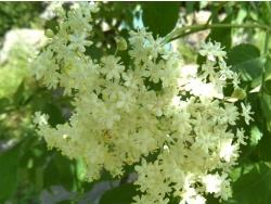 Photo faune et flore, Cervione - Voici une jolie fleure de sureau noir ou, autrement dit, u Sambucu