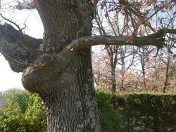 Photo paysage et monuments, Saint-Victor-des-Oules - Du côté de Saint-Victor-des-Oules, il y a des chênes enchantés !