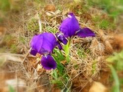 Photo faune et flore, Saint-Victor-des-Oules - les IRIS sont en fleurs dans la garrigue