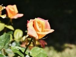 Photo paysage et monuments, Cier-de-Rivière - les roses